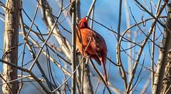 7K8A6713 (rpealit) Tags: scenery wildlife nature east hatchery alumni field hackettstown northern cardinal bird