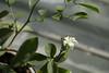spring is comming (olgabrezhneva) Tags: plant flower blossom murraya domestic flora garden home green
