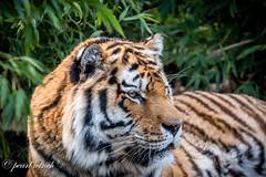 Igor Amur Tiger (pearl.winch) Tags: 23rdmarch2017 colchesterzoo igor 9167 amurtiger handsomeboy friends