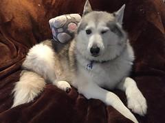 Wink Wink (redwolfoz) Tags: malamute alaskanmalamute pod dog grey husky siberianhusky companioncube cube portal