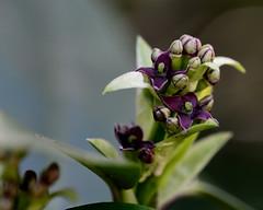 Japanese Laurel, Aucuba japonica (Joan's Pics 2012) Tags: japaneselaurel flowers purple shrub lilfordpark green bushes explore