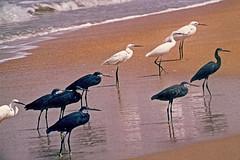 1977.015 SENEGAL Ballade au lac rose . (alainmichot93 (Bonjour à tous - Hello everyone)) Tags: 1977 sénégal presquîleducapvert mer océan océanatlantique oiseau noir blanc afrique plage photoargentique scan
