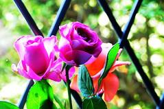 DSC_6720 (PeaTJay) Tags: nikond300s sigma reading lowerearley berkshire macro micro closeups gardens indoors nature flora fauna plants flowers rose roses rosebuds