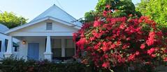 Key West (Florida) Trip 2016 2064Rif (edgarandron - Busy!) Tags: florida keys floridakeys keywest plants flower flowers bougainvillea inspiredbylove