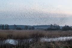 Murmuration (Spannarama) Tags: birds starlings murmuration flock reeds marsh reedbeds avalonmarshes hamwall rspbhamwall reserve dusk twilight evening somerset uk water reflections