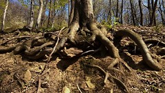 Embrace your ground (sanDr.a.92) Tags: tree root chaos ground earth nature grow spring outside outdoor roots brown walk natural beauty landscape lumia