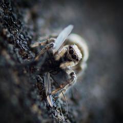 Dinner (Keith_Prefect) Tags: macro spider jumping eyes arachnid stripe zebra