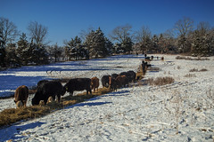 Tommy Kays - Come and Get It (Missouri Agriculture) Tags: cattle cows eating pasture hay treeline