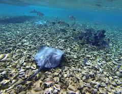 Rays and Nurse Shark in Conch graveyard off Belize (orclimber) Tags: ocean graveyard shark alley ray underwater belize off snorkeling caribbean nurse rays conch 2014