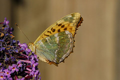 Butterflies are free (Heathermary44) Tags: flower macro nature animal butterfly special lilac specanimal