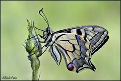 Papilio machaon (alfvet) Tags: macro nikon ngc butterflies natura npc insetti farfalle sigma150 parcodelticino lepidotteri platinumheartaward d5100