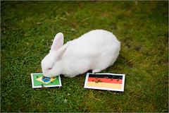 Psychic Rabbit - Brazil vs Germany (mikeyp2000) Tags: world brazil pet cute rabbit bunny cup germany fun oracle football soccer fluffy flags semi fluff fortune final psychic prediction teller seer semifinal predict tetney