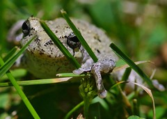 166/365: Cope's gray tree frog (Hyla chrysoscelis) (Stephen Little) Tags: animalia hyla anura amphibia hylidae copesgraytreefrog chordata hylachrysoscelis minoltaaf100f28macro minolta100f28macro minolta100mmf28 hchrysoscelis minolta100mmf28macro minoltaaf100f28 minolta100f28 minoltaaf100mmf28 minoltaaf100mmf28macro sonya77 jstephenlittlejr slta77 sonyslta77 sonyslta77v sonyalphaslta77v minoltaaf100f28macro2581100 minoltaaf100mmf28macro2581100