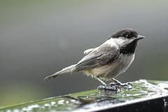 Chickadee IMG_2229-2-3 (Orkakorak) Tags: wet rain birds chickadee herowinner ultraherowinner
