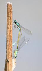 Ischnura elegans - Blue-talied damselfly (Yagosan) Tags: damselfly odonata sbr200 sb900 nikond300