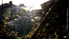 Rain and rays (dksesh) Tags: sun sunshine rain leaf ray raindrops hounslow raindrop sunray waterproof seshadri dhanakoti haritasya seshfamily haritasa sonyxperiaz2