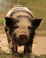 this little piggy (debs imagery) Tags: nature yard pig farm wildlife straw pigs farms snout kuna piglets