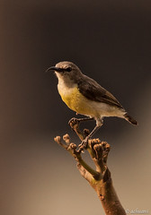 I managed to get here (achuaniaku) Tags: birds bangalore aves sunbird d610 300mmf4