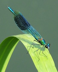 Banded Demoiselle (ramridgedave) Tags: park insect bedford britain beds bedfordshire demoiselle damselfly priory banded