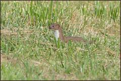Stoat (Full Moon Images) Tags: nature animal mammal wildlife bcn reserve national trust fen cambridgeshire stoat woodwalton nnr greatfen greatfenproject