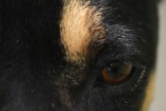 Deep Eyes (Andre Santa Rosa) Tags: urban macro eye dogs nature up animals brasil concentration nikon friend peace close deep sigma tranquility best cachorro ces dxo paulo sao animais optics chuchu 2014 d3100