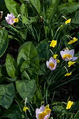 jdy111 bpl Aster&Narcissus&Tulipa epl Bgr1Egr Blo RbgbYard Elo XX20110421a1160.jpg (rachelgreenbelt) Tags: daffodil asteraceae asters narcissus jonquil astereae floweringplants daisyfamily familyasteraceae asterfamily compositefamily asterales dicots eudicots sunflowerfamily asteroideae familyamaryllidaceae orderasterales asterids asteraceaefamily astertataricus dicotyledons divisionmagnoliophyta tribeastereae tulipabakerililacwonder compositaefamily subfamilyasteroideae asteralesorder asteroideaesubfamily asterall perianthyellow trumpetyellow narcissussundisc7yy rlcrec tulipbakerililacwonder asterodae astereaetribe seedplantsspermatophytes 7trumpetyellow coronacupfunnelorflaredwiderthanlongusually oneto8flowersperstem perianthspreadingorreflexed usuallyfragrant apodanthus narcissusgroup7jonquilla asteridsclade asterodaesupertribe supertribeasterodae