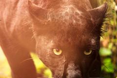 Look At You (Vivek R. Singh: Visual Artist) Tags: india animal closeup zoo eyes photographer wildlife spotted puma panther darjeeling filmmaker westbengal blackleopard vivekrajsingh vivekrsinghvisualartist