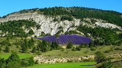 Provenza - Una preziosa ametista incastonata nel verde (antoniobusso) Tags: france nature landscape miel provence lavande francia paesaggi provenza lavanda lavandin