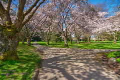 blossom time (non stop creations- Sherry Landon) Tags: pink trees green cherry blossoms walkway sherry hdr pathway landon d300 nonstopcreations