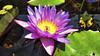 Sparkling Purple Lotus (David Periang Hendra) Tags: bali nature indonesia lotus 69 independenceday banjar singaraja brahmaviharaarama nikaction lge988