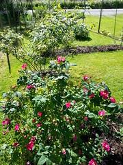 20140623_162443 - Frankfurt Rose (HAKANU) Tags: red summer flower rose bush cabin sweden frankfurt smland shrub summerhouse rosegarden rosebush rosarium