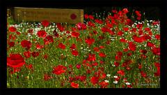 In Flanders fields the poppies blow... between the crosses, row on row. (JKmedia) Tags: world red flower loss flora memorial war killing battle worldwari devon poppy poppies remembrance tragic worldwar1 flanders honour remembering inhumanity defending ivybridge royalbritishlegion tradegy