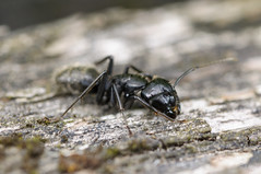 Fourmi Charpentire - Carpenter Ant - Camponotus Vagus (Krap) Tags: macro nature insect nikon ant tamron insecte carpenter fourmi d90 camponotus camponotusvagus