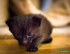 DSC_1996 (Breatnac Photography) Tags: baby black cute cat photography big eyes kitten pretty little small sparkle breatnac
