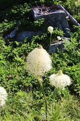Closeup of Beargrass (daveynin) Tags: plant flora nps mount rainier beargrass xerophyllumtenax deaftalent deafoutsidetalent deafoutdoortalent