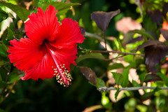 C15520E7 - Roatan Tropical Flower (Bob f1.4) Tags: red sea flower island honduras tropical caribbean roatan