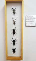 Taxidermy - Vertical Beetle Alignment (McLevn) Tags: santa new shadow white flores glass wall museum bug giant insect sumatra indonesia mexico island java spider cool interesting wings stag pin legs display box spiders framed beetle wing moth insects pins bugs taxidermy clean gross moths fe beetles winged antennae hung giraffa pinned peleng dorcus elephas mandibularis cyclommatus hexarthrius anteus metallifer prosopocoilus