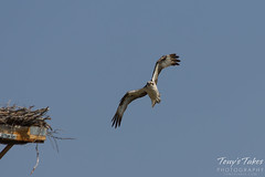 Osprey landing sequence - 1 of 14
