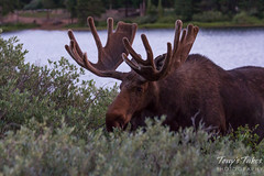 Moose bull grazing on willows