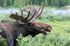 A moose bull almost seems to smile while grazing on willows