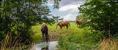 S'abreuver à la Somme (Alexandre LAVIGNE) Tags: horses nature cheval photographie rivière chevaux fleuve boire somme feuillage abreuver louisengival fonsomme smcpentaxda1281650mmedalifsdm pentaxk5iis format2351 sourcedelasomme picardiedépartementaisne