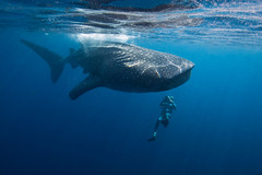 IMG_2357_A (PaoloLora) Tags: shark underwater dive scuba cancun whales whaleshark islamujeres