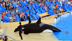 Killer Whale Show at Loro Parque (lens buddy) Tags: animals zoo tiger dolphins tenerife whales orca canaries canaryislands flipper puertodelacruz gorillas whitetigers loroparque dolphinshow loropark orcashow