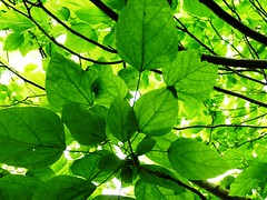 manchester (cathmac42) Tags: light tree green leaves filter lush canopy