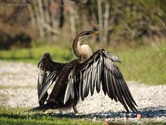 Darter.. (Sugan Raj) Tags: nature birds photography nikon shutters coolpix sugan p510