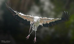 Wood Stork_3744-36D (mikeyasp) Tags: nature birds flying inflight wings feathers everglades avian storks mycteriaamericana woodstorks