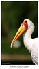 DSC05789 (peter3400) Tags: zoo minolta g painted sony hannover apo stork mycteria leucocephala sonyalpha dslra850 sonya850 300f4hs
