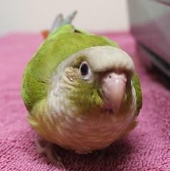 bird parrot mariposa conure avian pineapplegreencheeked