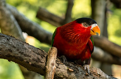 Black Capped Lory (Skagos26) Tags: bird nature colors animal closeup nikon wildlife lory 105mm seoulzoo d7100