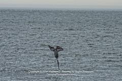 Plunge (MattPenning) Tags: bird water wings waves pentax hunting dive beak diving pelican potd ripples fowl tamron atlanticocean k5 springfieldillinois mattpenning kmount mattpenningcom penningphotography justpentax tamronaf70300mmf456ldifmacro pentaxk5